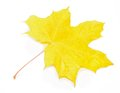Autumn Acer pseudoplatanus leaf Royalty Free Stock Photo