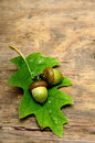 Autumn acorn Stock Images