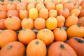 Autumn agriculture.Rows of pumpkins Stock Photography