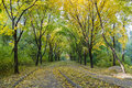 Autumn alley in park beautiful romantic large trees with yellow leaves the rays of setting sun natural background Stock Images