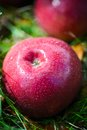 Autumn apples the big red Stock Photography
