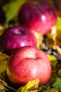 Autumn apples the big red Royalty Free Stock Images
