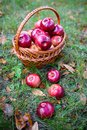 Autumn apples big red in the basket Stock Photos