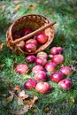 Autumn apples big red in the basket Stock Image