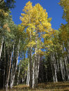 Autumn Aspen Royalty Free Stock Photography