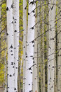 Autumn aspen grove Stock Photos