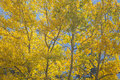 Autumn aspen poplar trees colored backlit by the afternoon sun in the rocky mountains of canada Royalty Free Stock Image