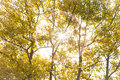 Autumn aspen poplar trees with sun colored backlit by the afternoon in the rocky mountains of canada Stock Image