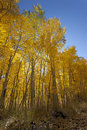 Autumn Aspen Trees Royalty Free Stock Image