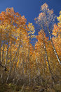 Autumn Aspen Trees Stock Images