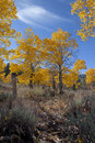 Autumn Aspen Trees Royalty Free Stock Photos