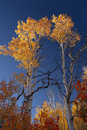 Autumn Aspen Trees Royalty Free Stock Photo