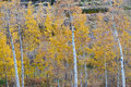 Autumn aspen trees scenic landscape view of colorado with golden leaves and white bark trunks Royalty Free Stock Images