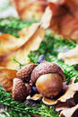 Autumn Background With Acorns
