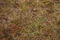 Autumn background.dry grass.pine needles Royalty Free Stock Image