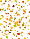 Autumn background of falling maple leaves on white Stock Images