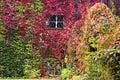 Autumn background, Parthenocissus quinquefolia Royalty Free Stock Photo