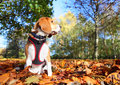 Autumn beagle dog pet sitting outdoors in Stock Photography