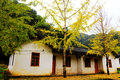 The Autumn beauty of Ginkgo Biloba in Nanxing City