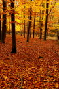 Autumn beech forest Royalty Free Stock Photo