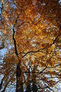 Autumn in the beech forest with coloured leaves wood Royalty Free Stock Photos