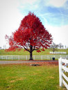 Autumn big red maple tree at country side landscape on late season picture taken with mobile phone Stock Photo