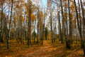 Autumn birch forest Stock Image