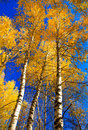 Autumn birch forest Royalty Free Stock Photo
