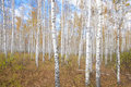 Autumn birch forest background birches against cloudy sky Stock Images