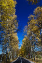 Autumn birch forest road a through the during Royalty Free Stock Photography