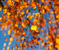 The autumn birch leaves in the sunlight Royalty Free Stock Photos