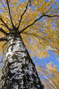 Autumn birch trunk branches and colored leaves. Royalty Free Stock Photo