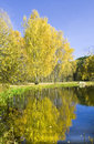 Autumn birches and lake landscape golden birch trees on bank of with reflection in water recorded in izmaylovskiy park in moscow Royalty Free Stock Images