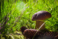 Autumn boletus mushroom fungus forest grass sun light fall in the on the in the Stock Images