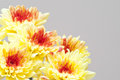 Autumn bouquet: yellow chrysanthemums Stock Image