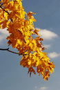 Autumn branch of maple tree Stock Photography