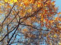 Autumn branches with blue sky in the background Royalty Free Stock Photo