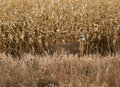 Autumn buck a white tailed deer hides next to a corn field in Royalty Free Stock Images