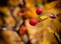 Autumn bush briеr bulgaria fall season Royalty Free Stock Photo
