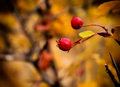 Autumn bush briеr bulgaria fall season Royalty Free Stock Photo