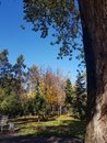 Autumn Canopy of Brilliant Yellow Aspen Tree Leafs in Fall in the Almaty Royalty Free Stock Photo