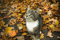 Autumn cat young grey in leafs Stock Images