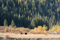 Autumn cattles Stock Photo
