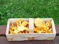 Autumn chanterelles freshly collected in the in a wooden basket Stock Photos