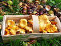 Autumn chanterelles freshly collected in the in a wooden basket Stock Images
