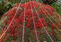 Autumn Chrysanthemum Exhibition in Kiev, Ukraine, 2016 Royalty Free Stock Photo