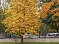 Tree with yellow falling leaves in a city park
