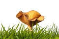 Autumn clitocybe mushroom on fresh green grass Royalty Free Stock Images