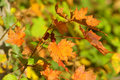 Autumn color and blackberries Royalty Free Stock Images
