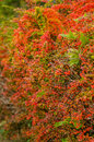 Autumn colored barberry hedgerow red and orange in the Stock Images